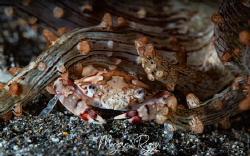 Coy crab by Morgan Riggs