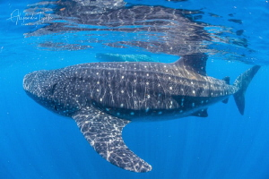 Whale Sharks in the blue, Isla Contoy México by Alejandro Topete