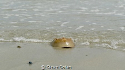 """Leaving the Sea"" Horseshoe Crab at the waters edge in Pl... by Steve Dolan"
