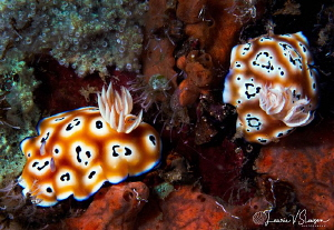 Goniobranchus leopardus twins/Photographed with a Canon 6... by Laurie Slawson