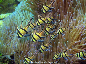 Banggai Cardinalfish Pterapogon kauderni, Lembeh, Indonesia by Pauline Walsh Jacobson