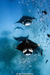 Feeding frenzly, the mantas of the Hanifaru lagoon Baa at... by Marchione Giacomo