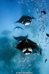 Feeding frenzly, the mantas of the Hanifaru lagoon Baa at... by Marchione Giacomo