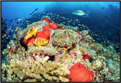 Red Sea coral reef with red actinia. by Sergey Lisitsyn