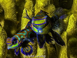Mandarin fish dive in Yap by John Loving