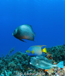 Trio of beauties: From top, we have a Grey Angelfish, a Q... by Rachel Price