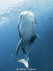 Way to Blue  Whale Shark - Rhincodon typus  Sail Rock... by Stefan Follows