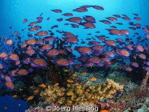 Juvenile Bristletooth surgeonfish were swarming Maldivian... by Joerg Blessing