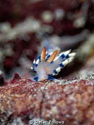 Gently Tender  Nudibranch - Flabellina exoptata  Bali... by Stefan Follows