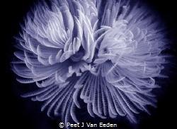 The beauty of  the Feather Duster Worm by Peet J Van Eeden