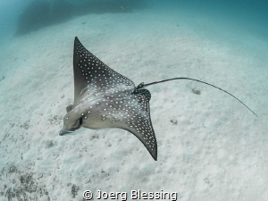 Freediving with this little eagle ray was pretty fun! by Joerg Blessing