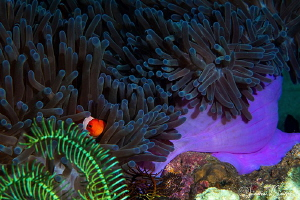 Clarke's Anemonefish inside an anemone/Photographed with ... by Laurie Slawson