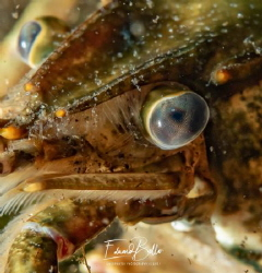 Clear waters, american lobster. by Eduard Bello