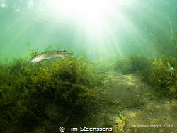 Common pike catching the sunrays in a pond near Antwerp. by Tim Steenssens