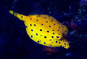 Yellow Boxfish/Photographed with a Canon 60 mm macro lens... by Laurie Slawson