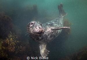 Grey Seal, Dalkey Island, Dublin Bay, Ireland Nikon D810... by Nick Blake