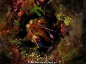 Dark Mantis Shrimp, Neogonodactylus curacaoensis, Congo C... by Pauline Walsh Jacobson