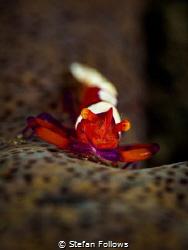 Eric  Emperor Shrimp - Periclimenes Imperator  Bali, ... by Stefan Follows