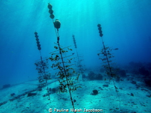Coral farming, Reef Renewal Foundation, Bonaire by Pauline Walsh Jacobson