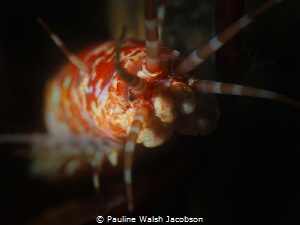 Bobbit Worm, Eunice sp., Blue Heron Bridge, Florida by Pauline Walsh Jacobson