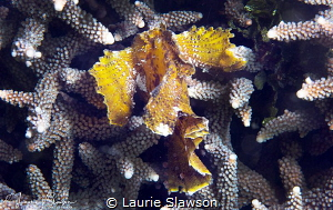 Leaf Scorpionfish/Photographed with a Canon 60 mm macro l... by Laurie Slawson