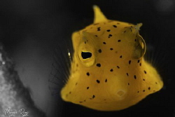 Blow me a kiss (Juvenile Boxfish) by Morgan Riggs