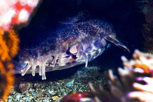 Wobbegong shark/Photographed with a 60 mm macro lens at A... by Laurie Slawson