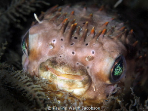 Balloonfish, Diodon holocanthus, Blue Heron Bridge, Florida by Pauline Walsh Jacobson