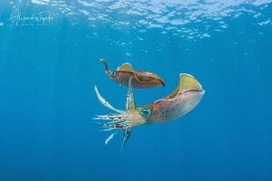 Squids in Love, Veracruz México by Alejandro Topete