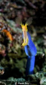 eel feeding by Masa Biru
