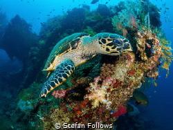 nom nom nom ... !  Hawksbill Turtle - Eretmochelys imbr... by Stefan Follows