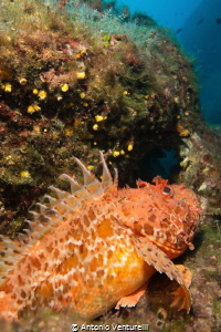 red scorpionfish by Antonio Venturelli