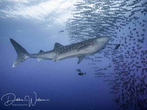 I was photographing a VERY large school of barracudas whe... by Debbie Wallace