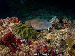 Sneak Peek  Brownbanded Bbamboo Shark, Chiloscyllium pu... by Stefan Follows