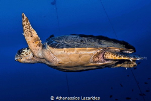 Turtle by Athanassios Lazarides