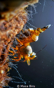 shrimp by Masa Biru