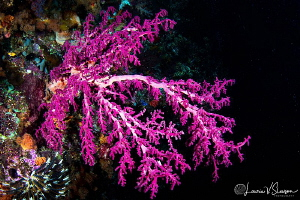 Coral/Photographed with a Tokina 10-17 mm fisheye lens at... by Laurie Slawson