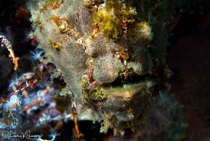 Frogfish/Photographed with a Canon 60 mm macro lens at Al... by Laurie Slawson