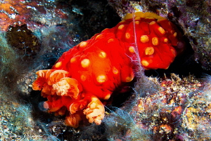 Gymnodoris aurita/Photographed with a Canon 60 mm macro l... by Laurie Slawson