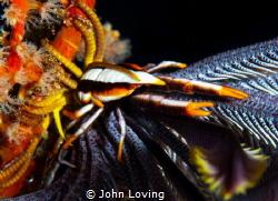 Squat Lobster by John Loving