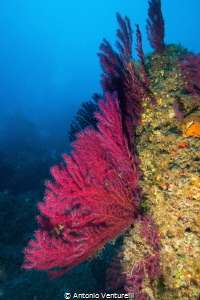 Red gorgonian by Antonio Venturelli