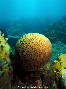 A rare, perfect brain coral, Straggler's Rocks, St.Thomas... by Pauline Walsh Jacobson