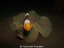 Clownfish share anemone with differents friends by Hansruedi Wuersten