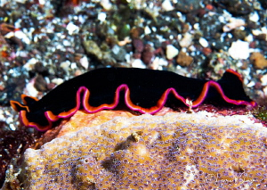 Marine flatworm/Photographed with a Canon 60 mmm macro le... by Laurie Slawson