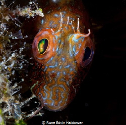 Blenny by Rune Edvin Haldorsen