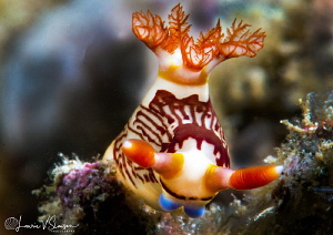 Nembrotha lineolata/Photographed with a 60 mm macro lens ... by Laurie Slawson