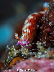 Sneaky  Fu*$er  Nudibranch - who knows!?  Bali, Indon... by Stefan Follows