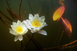 Two white lilies in the river underwater. by Sergey Lisitsyn