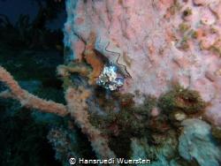 Harlekinshrimp on sponge by Hansruedi Wuersten
