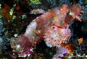 Scorpionfish/Photographed with a Canon 60 mm macro lens a... by Laurie Slawson